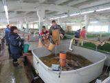 Инвентаризация молоди наВыгском рыбзаводе