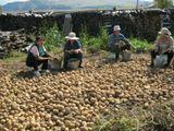 сбор картофеля
