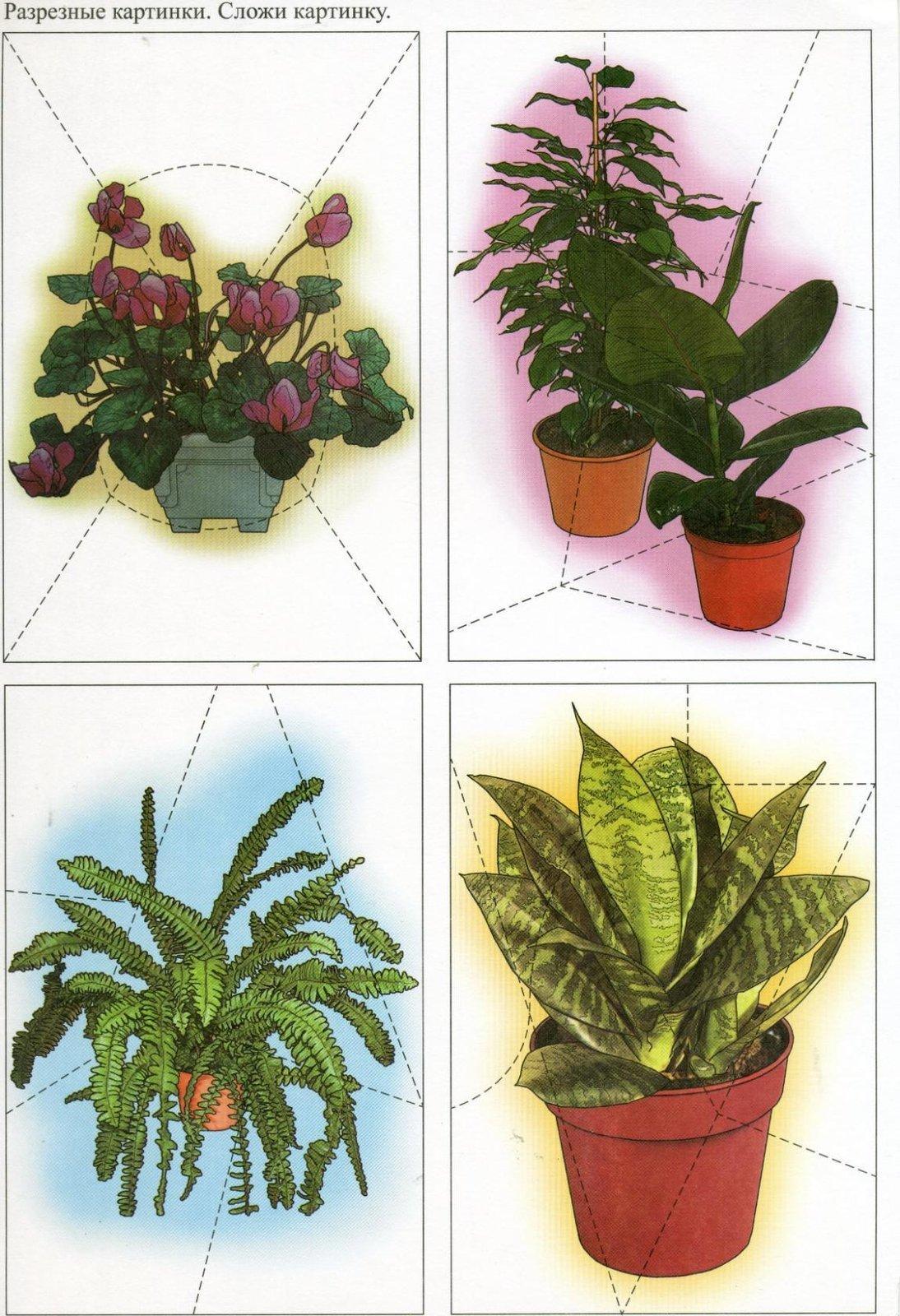 комнатные растения для старшей группы картинки этому рецепту сможете