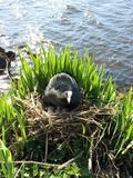 Когда участок был очищен, эта птица обустроила тут себе гнездо.