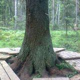 Самая большая ель в Фенноскандии